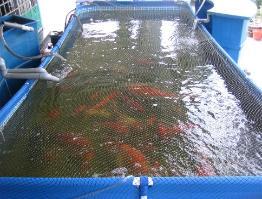 Poolnleisure malaysia above ground pool swim pool pool for Koi intex pool